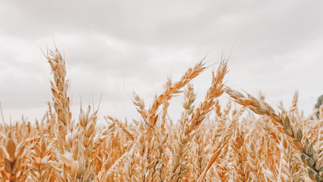 most sustainable milk alternatives a field of oats