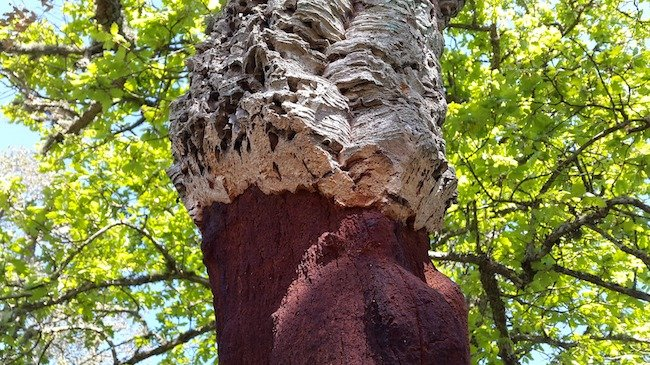 Bark of a cork oak tree